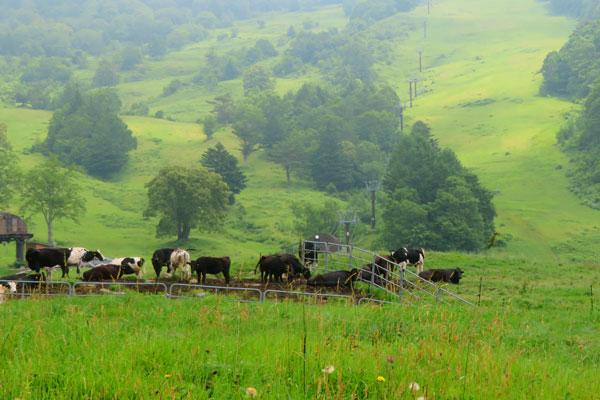 山田牧場で放牧されている牛たち