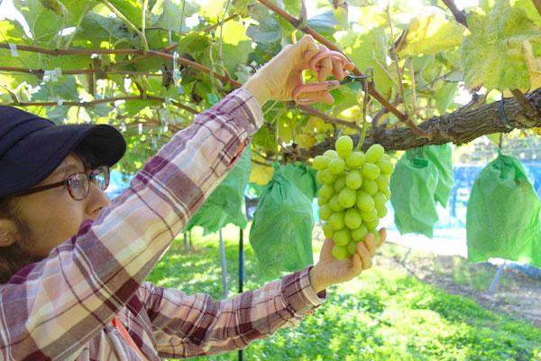 シャインマスカットの収穫風景