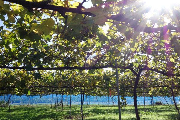 片桐果樹園のぶどう畑に降り注ぐ太陽の日差し