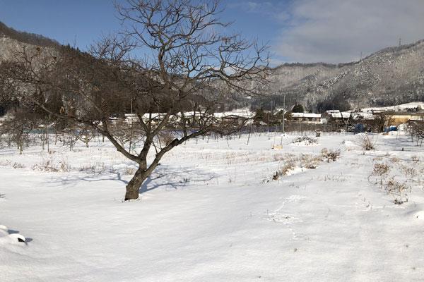 雪の積もったりんご畑