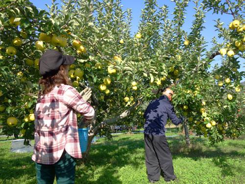 りんごの収穫作業