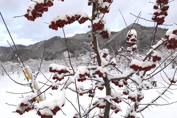 雪が積もった姫りんご