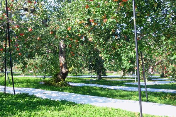 りんご畑に敷いた反射用シート
