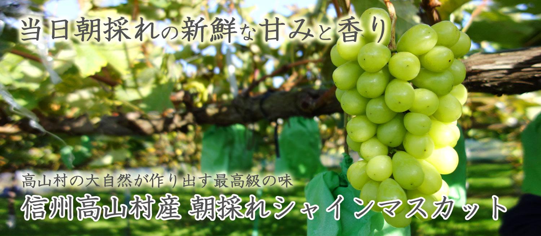 高山村の大自然が作り出す最高級の味 信州高山村産 朝採れシャインマスカット