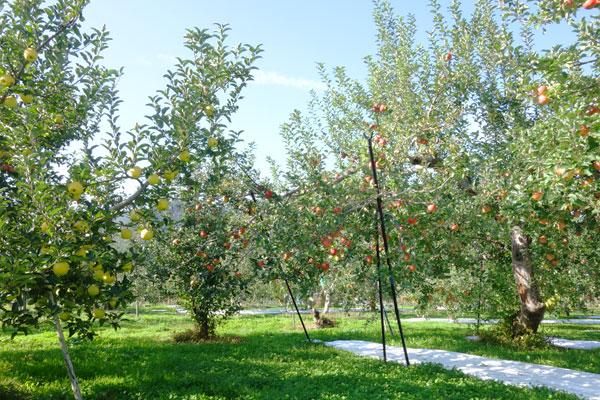 青空の下、広いりんご畑