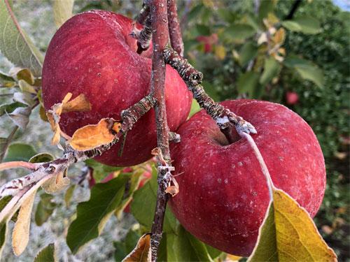 霜が降りたふじりんご