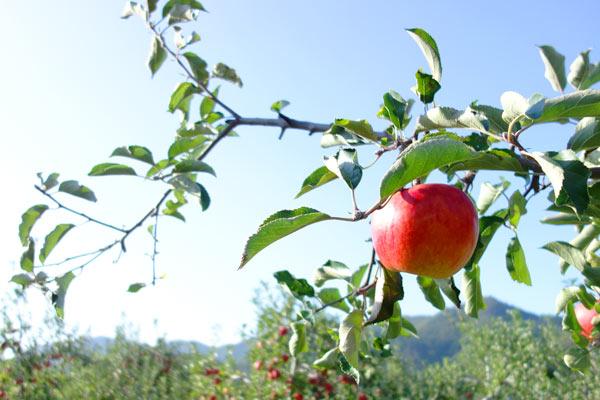 太陽を浴びる、樹に実ったりんご