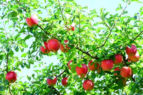 樹に実ったたくさんのふじりんご