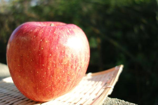 太陽を浴びる元気なふじりんご