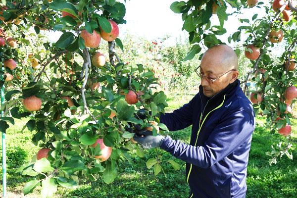 ふじりんごの収穫作業
