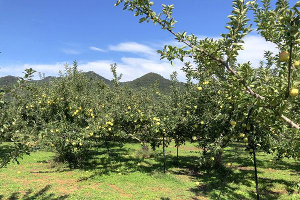 広いりんご畑