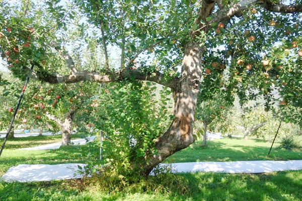 大きくて立派なりんごの樹