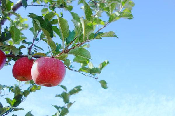 太陽を浴びるりんご
