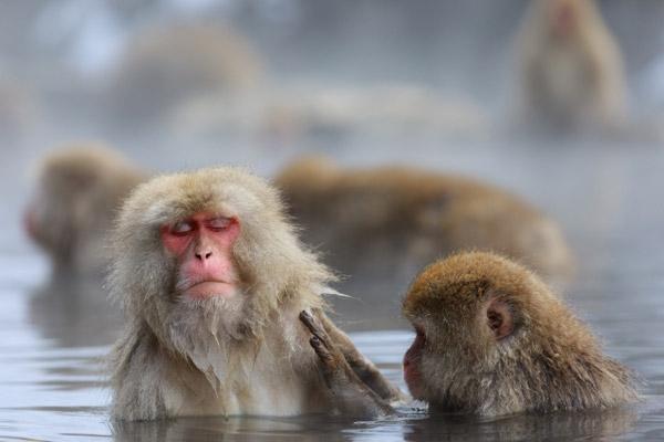 地獄谷野猿公苑で温泉に入る猿
