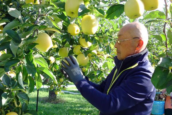 りんごの摘果作業風景