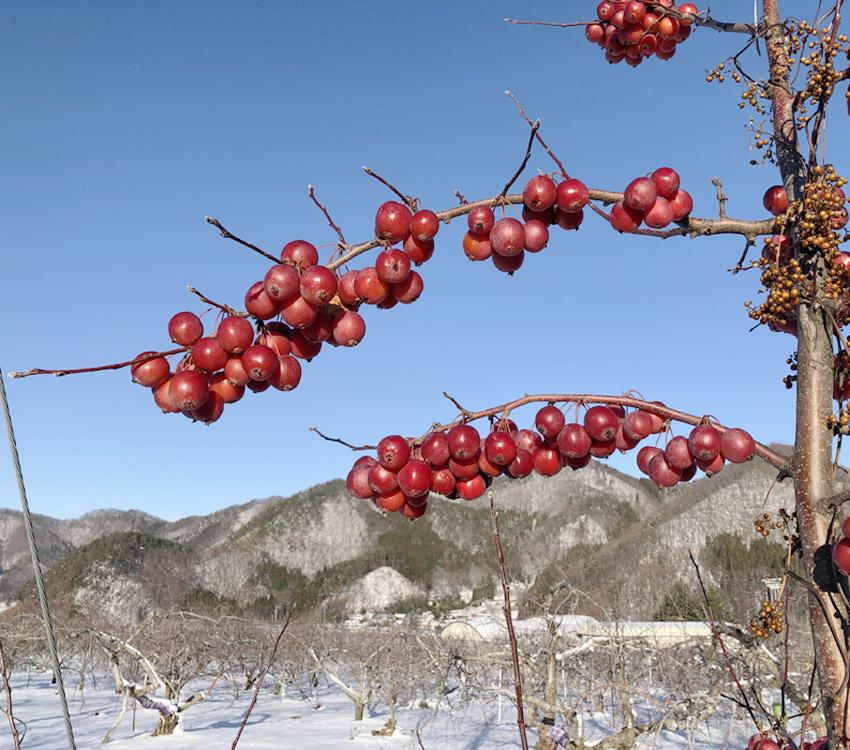 雪が積もったりんごの樹