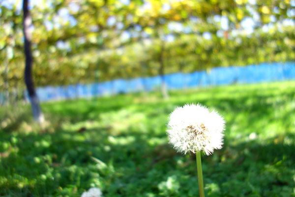 春の陽気の中のたんぽぽの綿毛