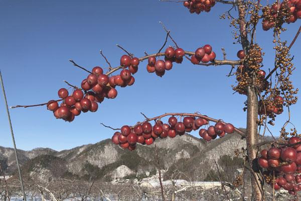 雪が積もったりんご畑