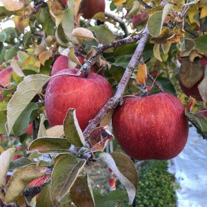 霜降りふじりんごをご購入の画像